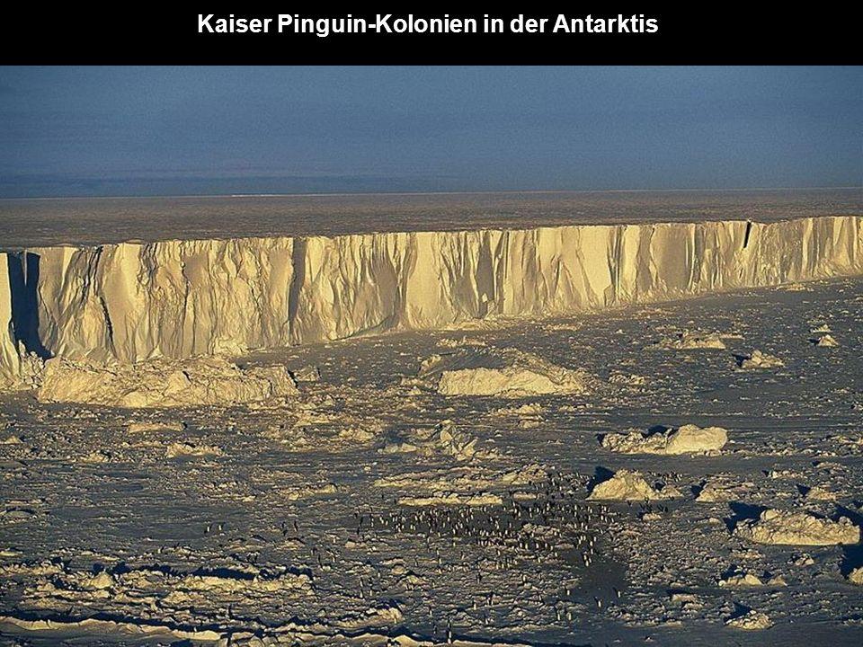 Kaiser Pinguin-Kolonien in der Antarktis