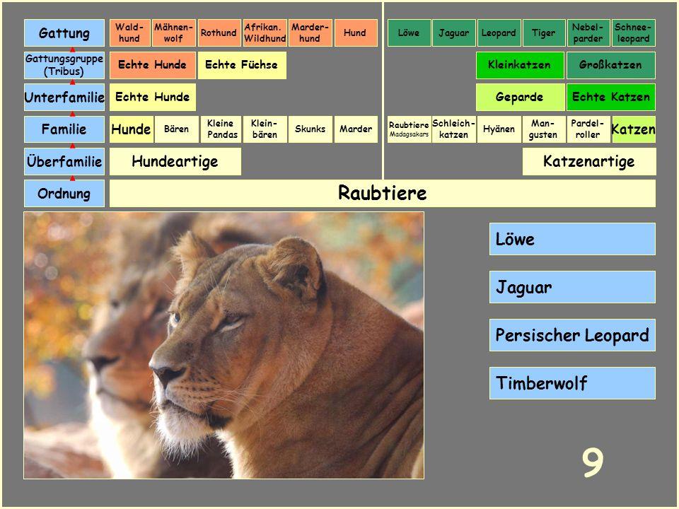 9 Raubtiere Löwe Jaguar Persischer Leopard Timberwolf Hundeartige