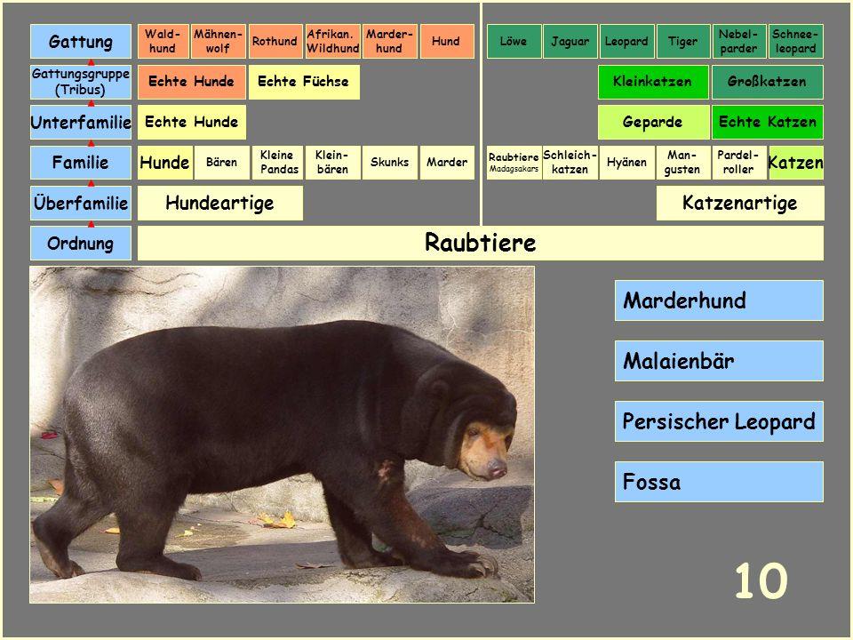 10 Raubtiere Marderhund Malaienbär Persischer Leopard Fossa