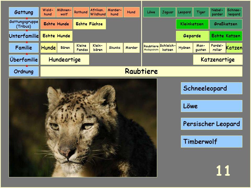 11 Raubtiere Schneeleopard Löwe Persischer Leopard Timberwolf