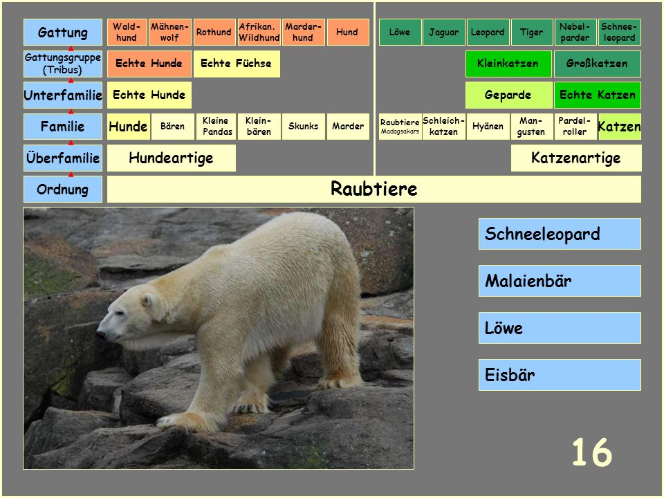 16 Raubtiere Schneeleopard Malaienbär Löwe Eisbär Hundeartige