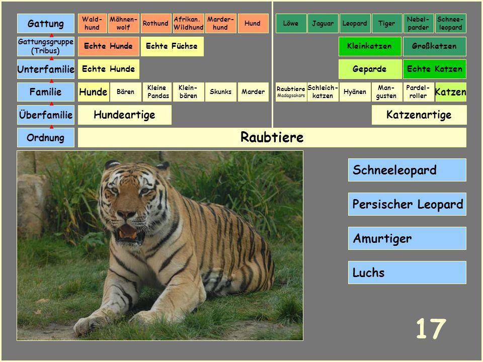 17 Raubtiere Schneeleopard Persischer Leopard Amurtiger Luchs