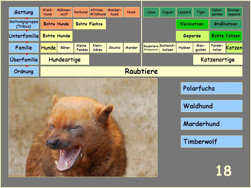 18 Raubtiere Polarfuchs Waldhund Marderhund Timberwolf Hundeartige