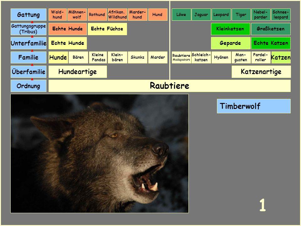 1 Raubtiere Timberwolf Hundeartige Katzenartige Gattung Unterfamilie