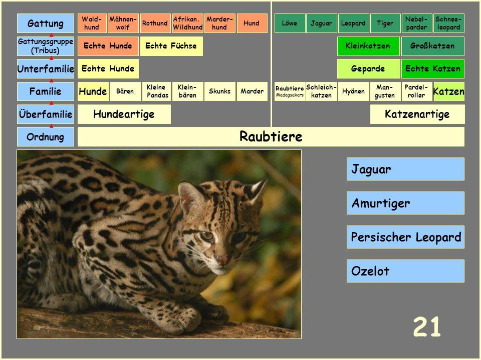 21 Raubtiere Jaguar Amurtiger Persischer Leopard Ozelot Hundeartige