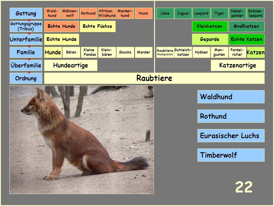 22 Raubtiere Waldhund Rothund Eurasischer Luchs Timberwolf Hundeartige