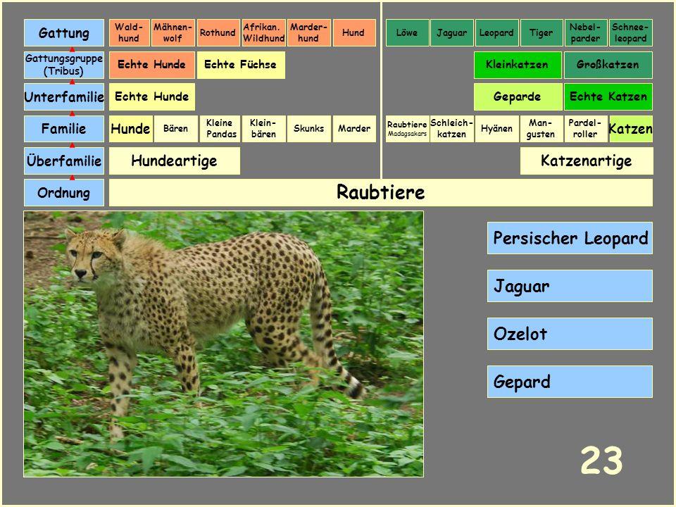 23 Raubtiere Persischer Leopard Jaguar Ozelot Gepard Hundeartige