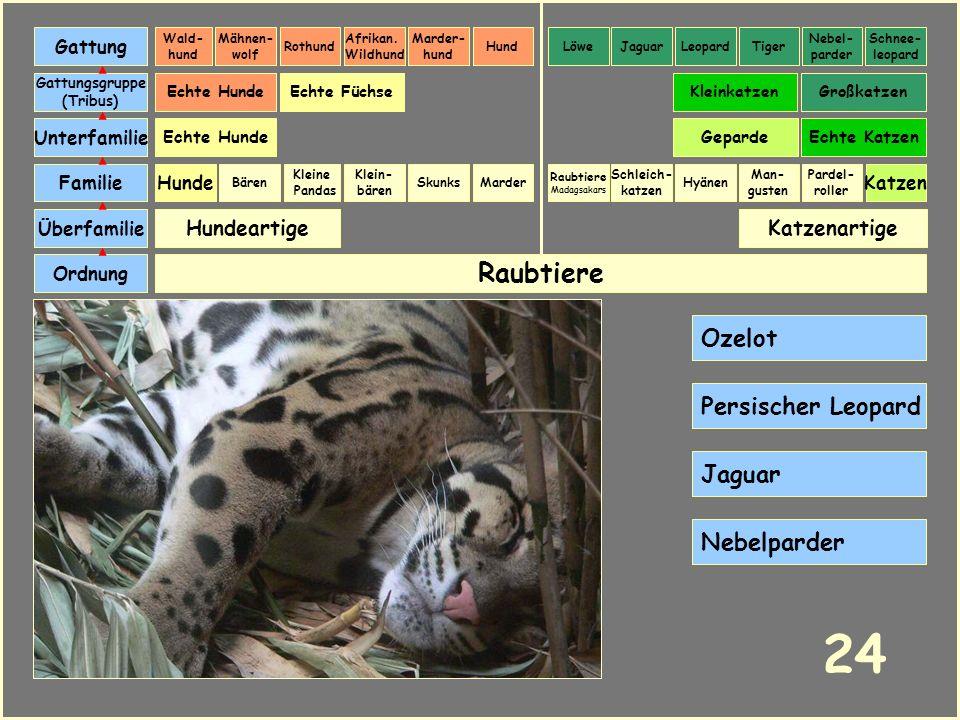 24 Raubtiere Ozelot Persischer Leopard Jaguar Nebelparder Hundeartige