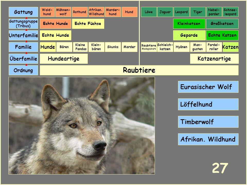 27 Raubtiere Eurasischer Wolf Löffelhund Timberwolf Afrikan. Wildhund