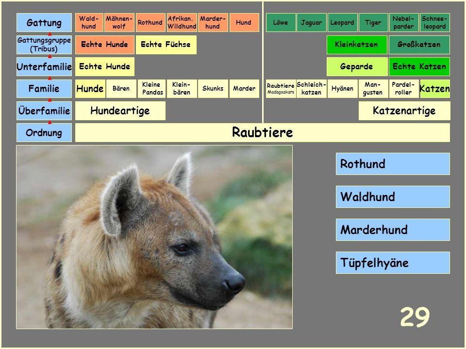 29 Raubtiere Rothund Waldhund Marderhund Tüpfelhyäne Hundeartige
