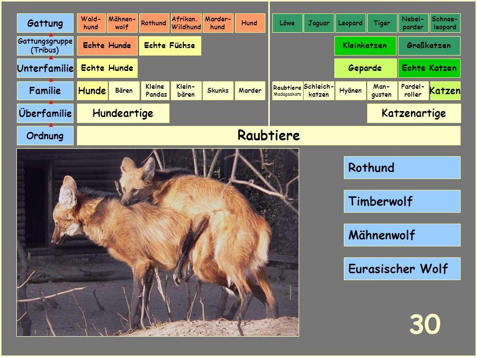 30 Raubtiere Rothund Timberwolf Mähnenwolf Eurasischer Wolf