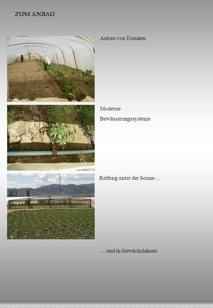 Zum Anbau Anbau von Tomaten. Moderne. Bewässerungssysteme.
