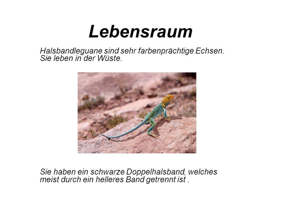Lebensraum Halsbandleguane sind sehr farbenprächtige Echsen. Sie leben in der Wüste.