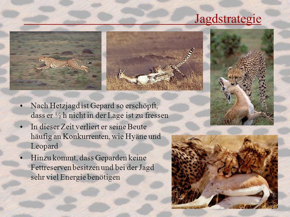 Jagdstrategie Nach Hetzjagd ist Gepard so erschöpft, dass er ½ h nicht in der Lage ist zu fressen.