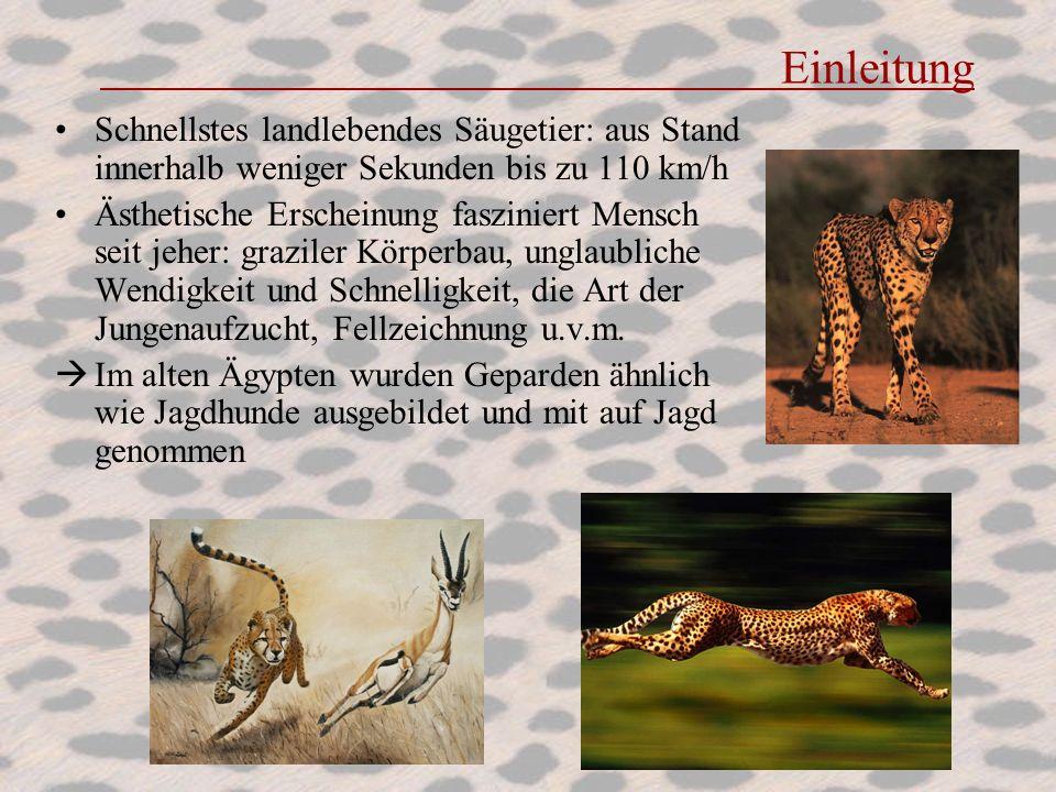 Einleitung Schnellstes landlebendes Säugetier: aus Stand innerhalb weniger Sekunden bis zu 110 km/h.