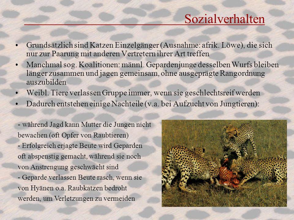Sozialverhalten Grundsätzlich sind Katzen Einzelgänger (Ausnahme: afrik. Löwe), die sich nur zur Paarung mit anderen Vertretern ihrer Art treffen.
