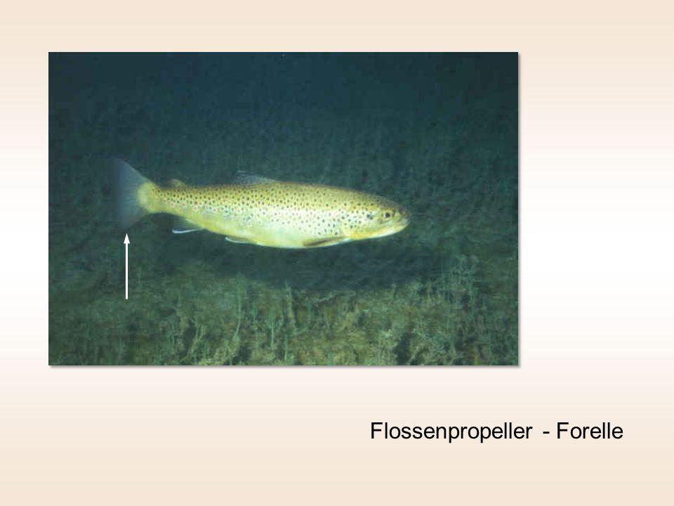 Flossenpropeller - Forelle