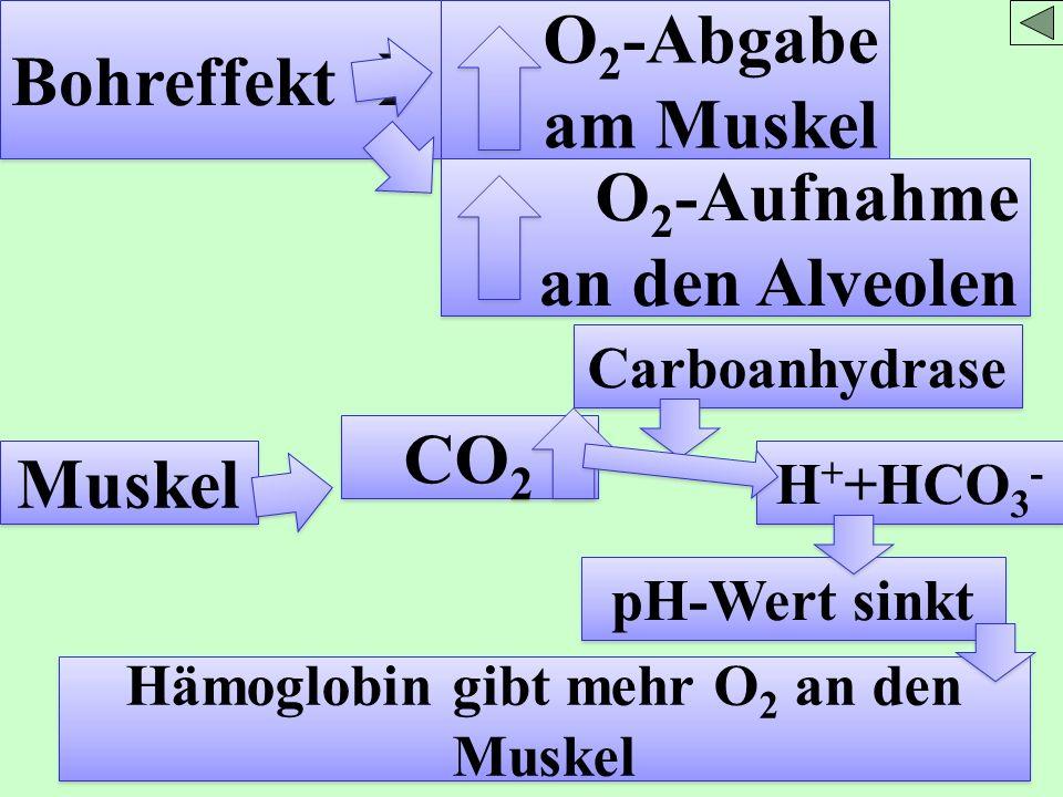 Hämoglobin gibt mehr O2 an den Muskel