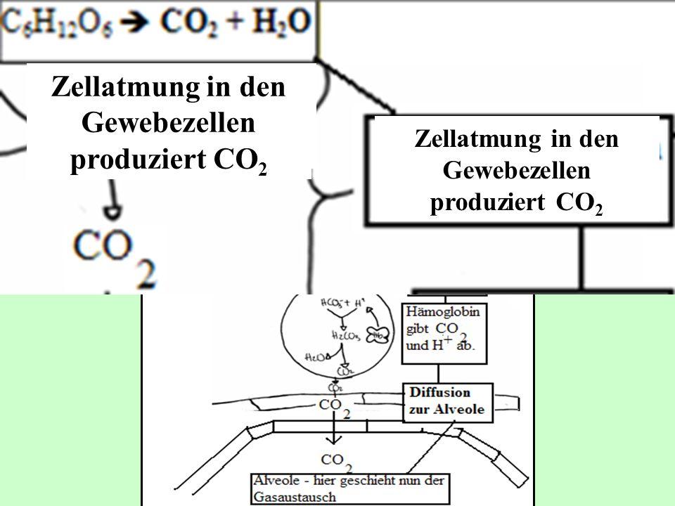 Zellatmung in den Gewebezellen produziert CO2