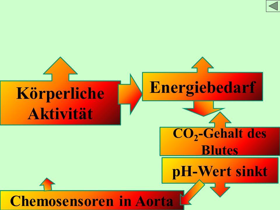 Körperliche Aktivität Chemosensoren in Aorta