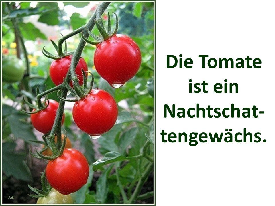 Die Tomate ist ein Nachtschat-tengewächs.