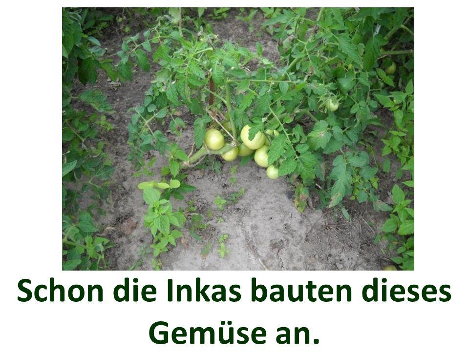 Schon die Inkas bauten dieses Gemüse an.