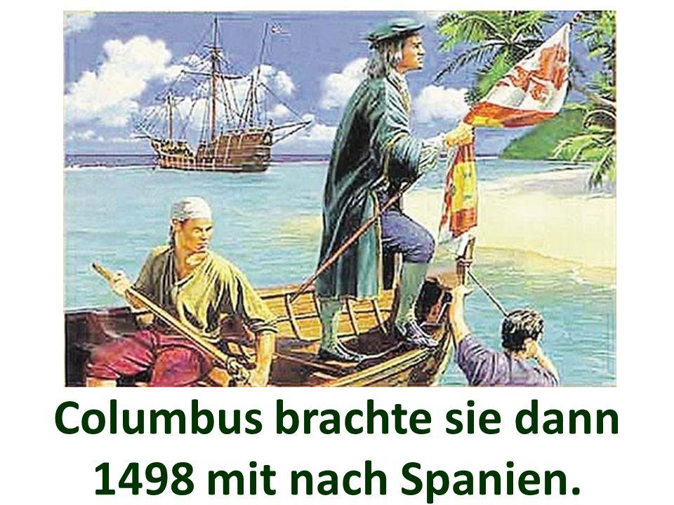 Columbus brachte sie dann 1498 mit nach Spanien.