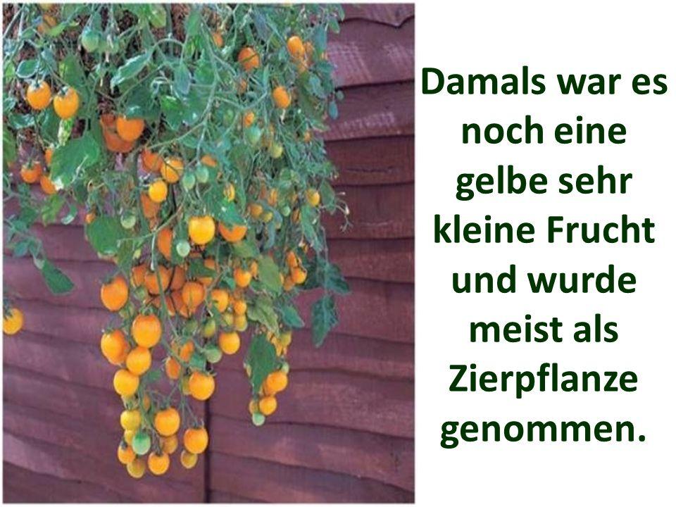 Damals war es noch eine gelbe sehr kleine Frucht und wurde meist als Zierpflanze genommen.