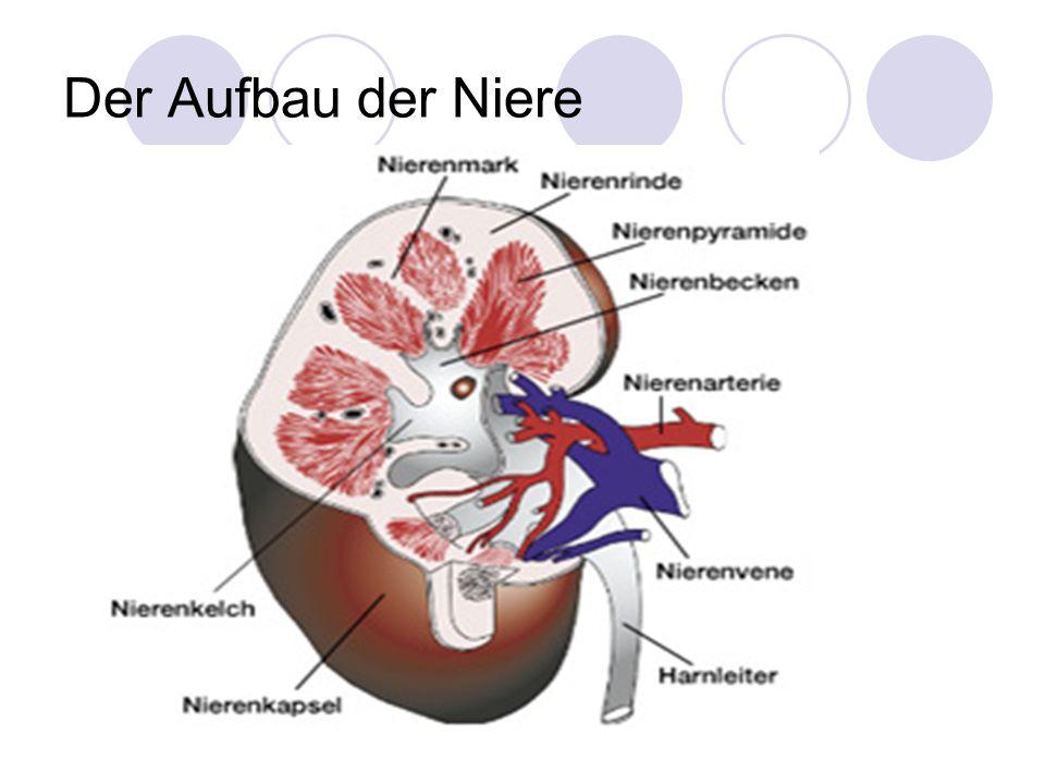 Großzügig Nierenmark Bilder - Menschliche Anatomie Bilder ...