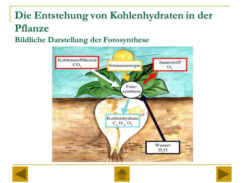 Die Entstehung von Kohlenhydraten in der Pflanze Bildliche Darstellung der Fotosynthese
