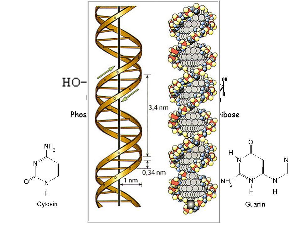 Man nehme: Phosphorsäure Desoxyribose