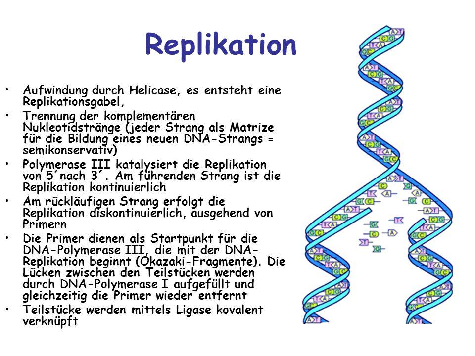 Replikation Aufwindung durch Helicase, es entsteht eine Replikationsgabel,