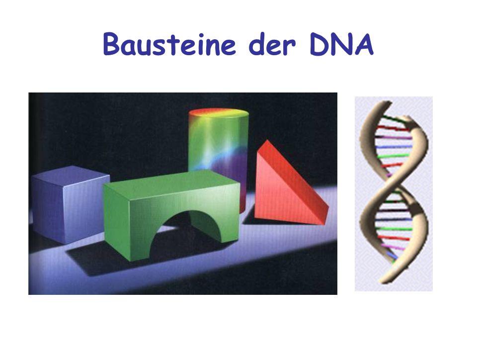 Bausteine der DNA