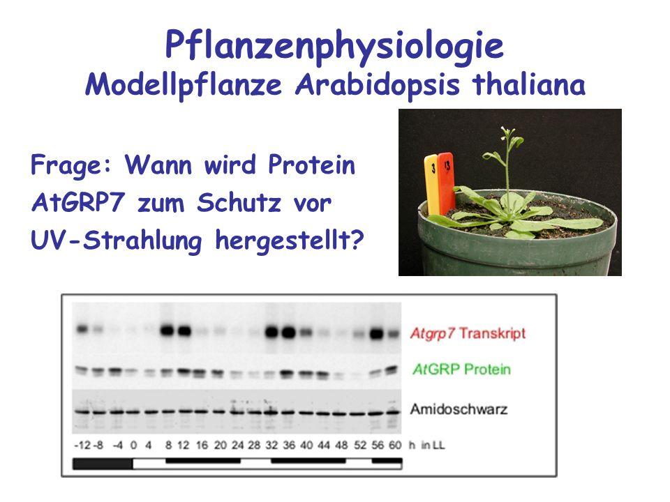 Pflanzenphysiologie Modellpflanze Arabidopsis thaliana