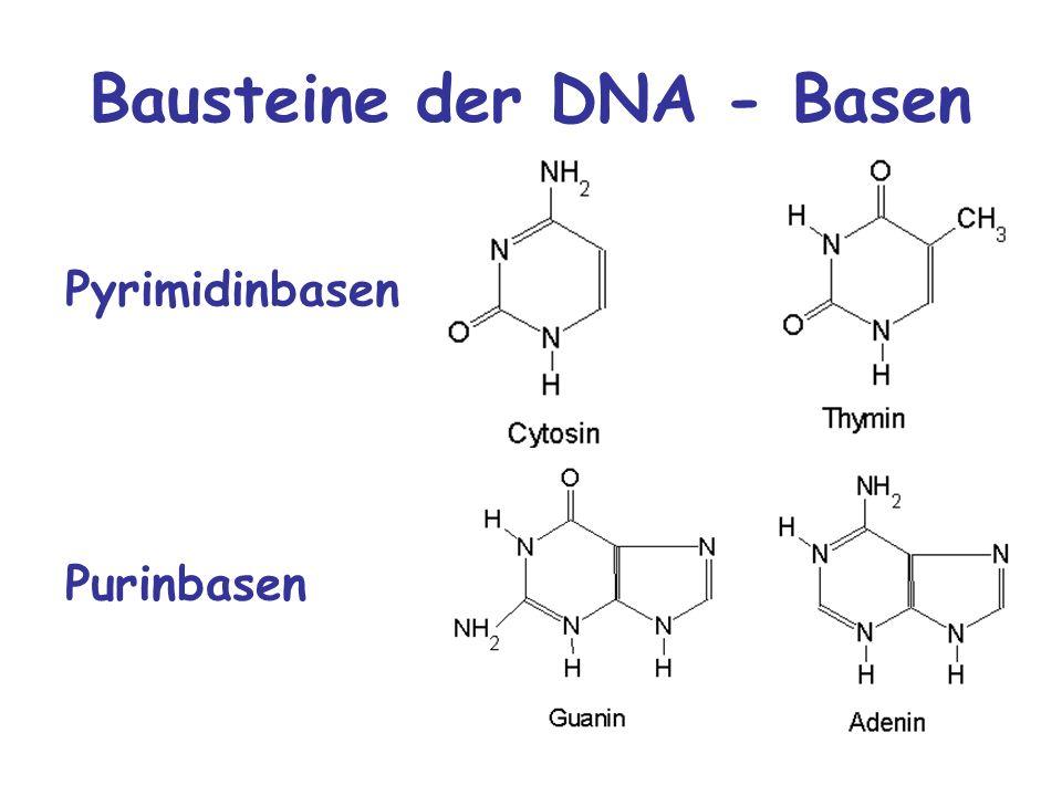 Bausteine der DNA - Basen