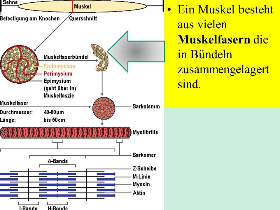 Struktur der quergestreiften Muskelfasern