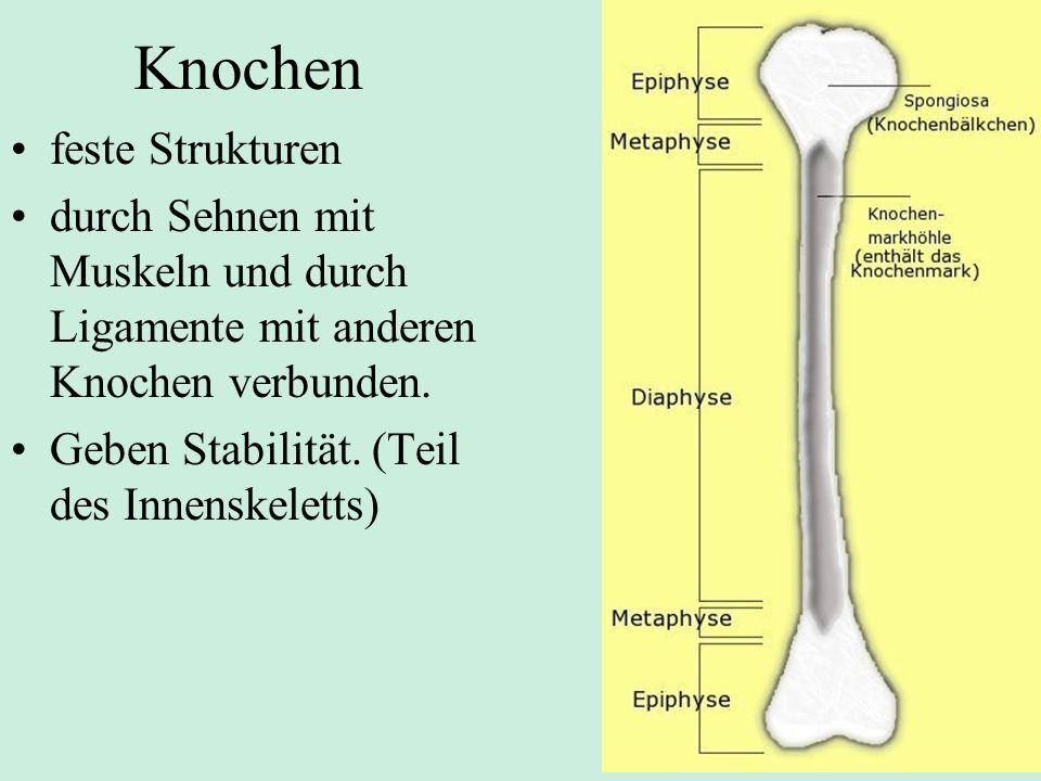 Knochen feste Strukturen