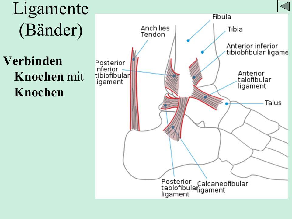Ligamente (Bänder) Verbinden Knochen mit Knochen Bild aus wikipedia