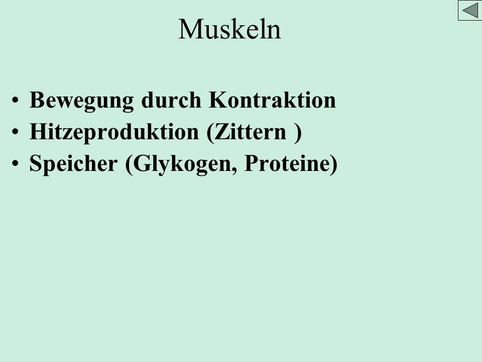 Muskeln Bewegung durch Kontraktion Hitzeproduktion (Zittern )