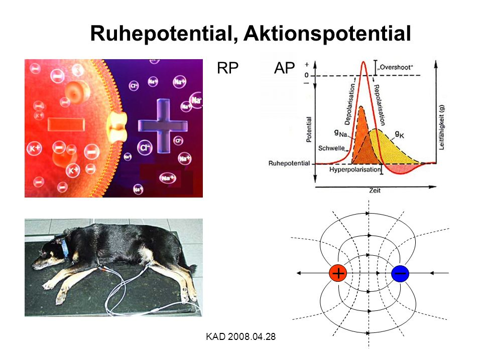 Ruhepotential, Aktionspotential