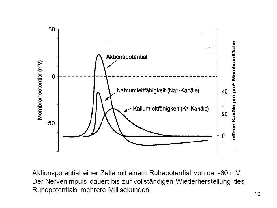 Aktionspotential einer Zelle mit einem Ruhepotential von ca. -60 mV