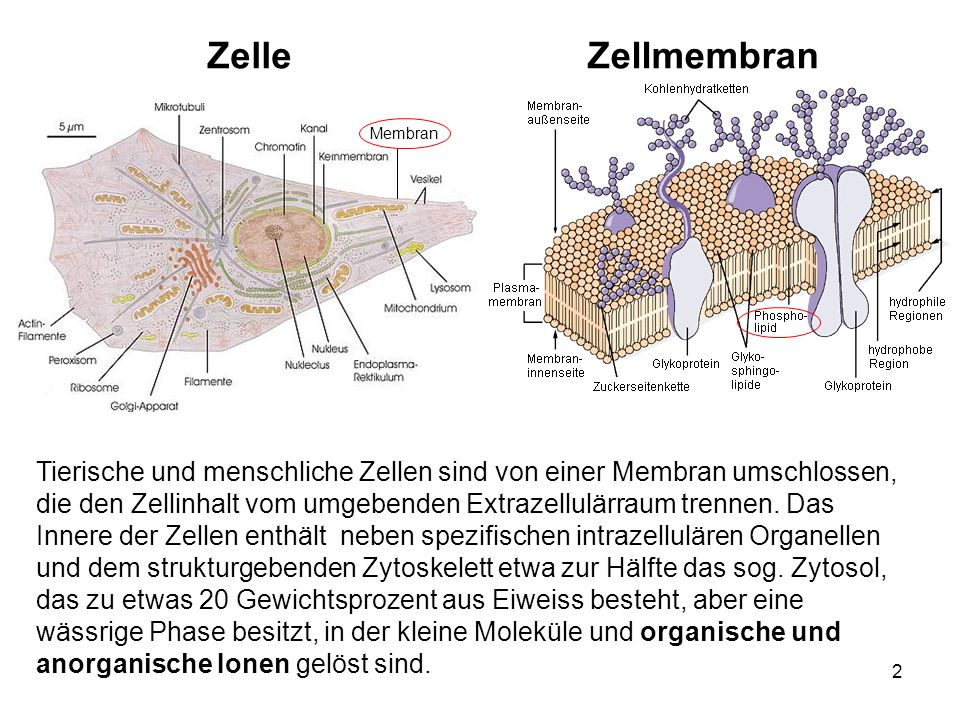 Zelle Zellmembran. Membran.