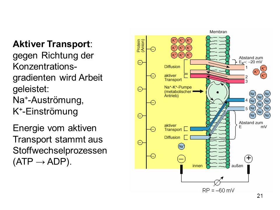 Aktiver Transport: gegen Richtung der Konzentrations-gradienten wird Arbeit geleistet: Na+-Auströmung, K+-Einströmung