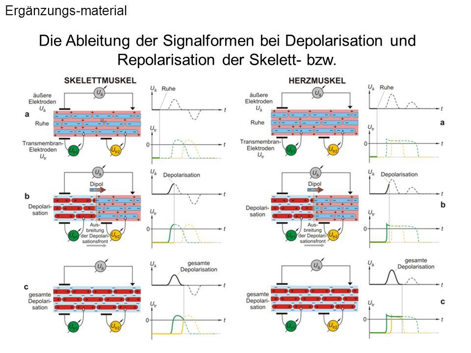 Ergänzungs-material Die Ableitung der Signalformen bei Depolarisation und Repolarisation der Skelett- bzw.
