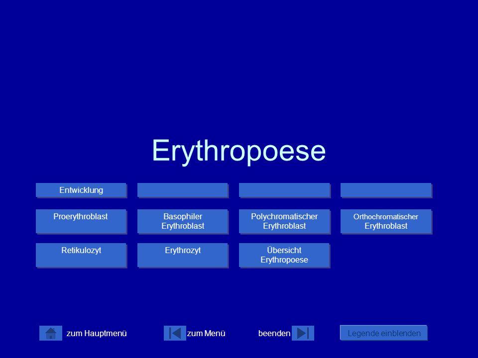 Erythropoese Entwicklung Proerythroblast Basophiler Erythroblast