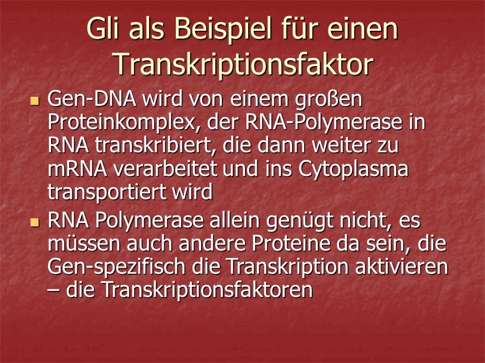Gli als Beispiel für einen Transkriptionsfaktor