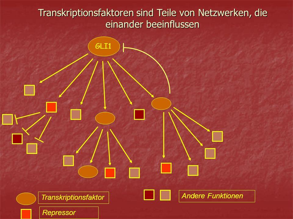 Transkriptionsfaktoren sind Teile von Netzwerken, die einander beeinflussen