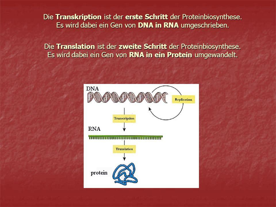Die Transkription ist der erste Schritt der Proteinbiosynthese