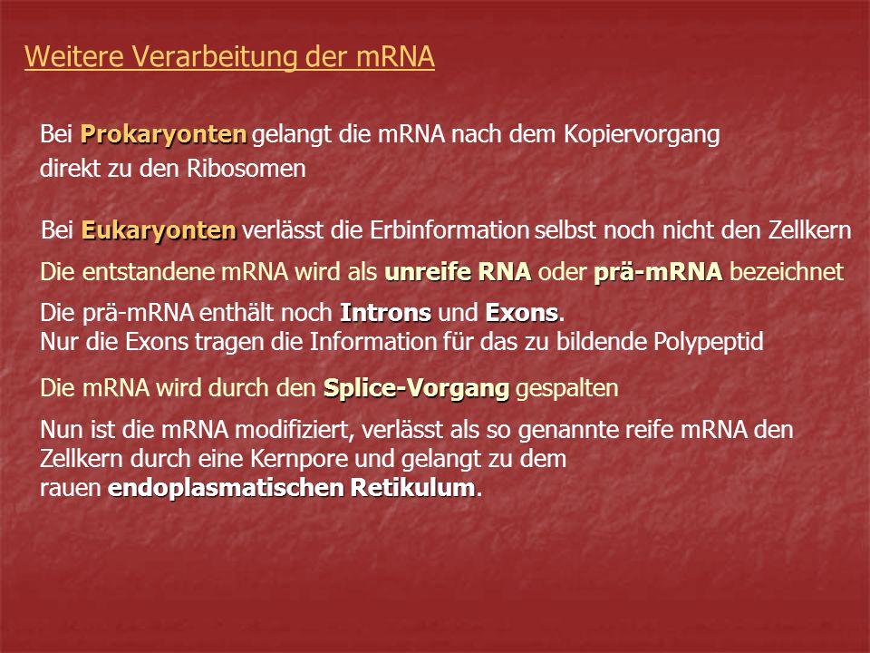 Weitere Verarbeitung der mRNA