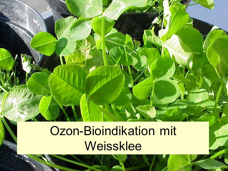 Ozon-Bioindikation mit Weissklee